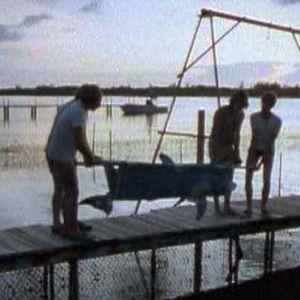 Pyydystettyä delfiiniä siirretään Floridassa 1984.