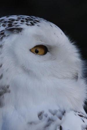 Tunturipöllö komeassa sivuprofiili lähikuvassa.