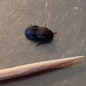David Byggmästar undrar vad det är för liten insekt som har kommit in i huset? På vintern har de inte setts till men från mitten av maj ca. 20st. Orsakar dom någon skada och hur kan man få bort dom?