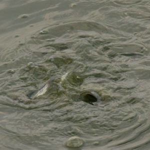 Bror Kalenius har också  fotograferat fenomenet i vattnet. På denna bild syns fiskar.