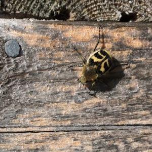 Kevin och Jesse har under några dagar sett två skalbaggar som liknar på olika sätt nyckelpigor i Sideby i Södra österbotten. Vad är det för arter?