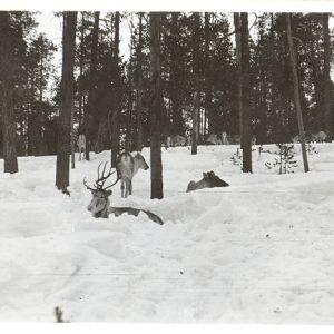 porotokka lumisessa metsässä, osa poroista makoilee, osa seisoo