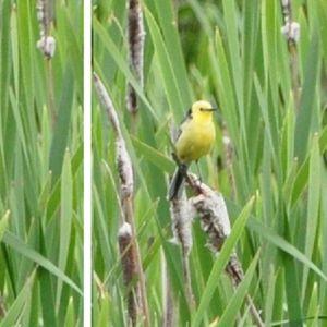 Bernt Mattsson observerade denna fågel i Vik i Helsingfors där. Andra fågelskådare på plats antog att det rörde sig om en citronärla. Stämmer artbestämningen undrar han?