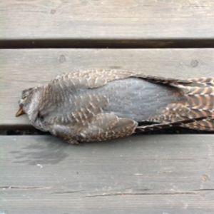 Den här fågeln flög mot verandans glasvägg i september på Björkö i Kvarken, berättar Anita Ödman. Vad är det för en fågel?