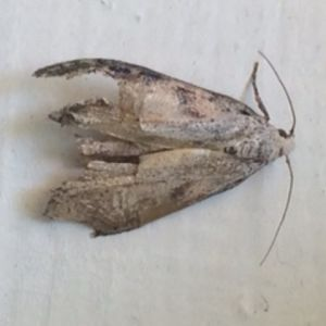 Farmor på Storramsjö har på stugan invasion av nattfjärilar ca 1,5-2 cm långa. Vad är de, varifrån kommer de in och hur blir man av med dem?