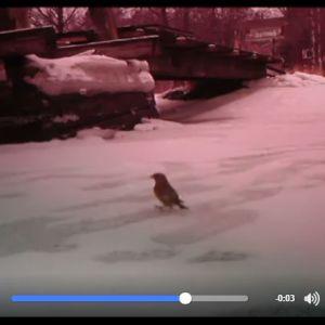 Kjell Selenius har videofilmat småfåglar och undrat vilka de är. Skärmdump från: https://www.facebook.com/kjell.selenius.5/videos/g.134882076900743/1435393356471383/?type=2&theater