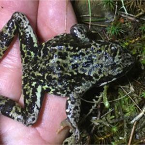 Anders Bergman har noterat att det börjat dyka upp för honom främmande grodor i Porkala. Är den ny i trakten, och hur tar den sig till en holme i yttersta skärgården undrar han.