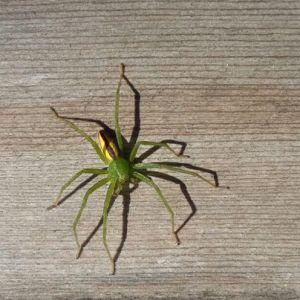 Johanna Sandman hittade denna spindel på terassen. Hon har aldrig sätt en sådan tidigare och undrar vad är det för en.