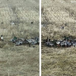 Martin fotograferade denna flock med ett hundratal gräsänder samt några årtor i Socklot. Vilka är de avvikande chokladbruna fåglarna med vitt bröst och skimrande grönt huvud?