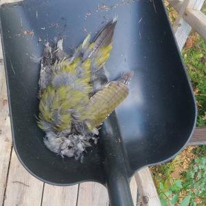 Fågel som flugit in i fönstret. Vad är det för fågel?