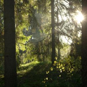 Aurinko pilkottaa metsässä puiden välistä