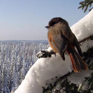 Lavskrika på gren i vinterlandskap, Nordkarelen, 2009