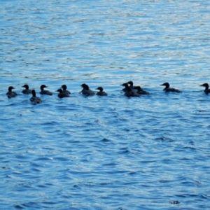 Fredrik Lindeman har följt med en skrakmor med 15 ungar. Hur har hon lyckas samlat på sej en sån här mängd undrar han.