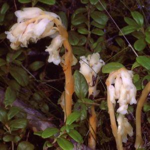 Tanja Westerholm hittade dessa växter i ett bergigt skogsparti med blandskog. Den största är ca. 17 cm högt. Hon har sett en liknande växt bara en gång tidigare, på 1970-talet och undrar vad det är och hur vanlig den är.
