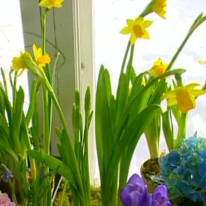 Vårinstallation med lökar och krukväxter
