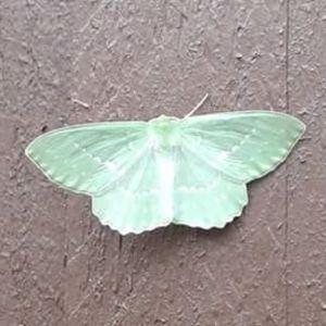 Martina Lindberg mötte en morgon denna intensivt gröna vackra fjäril på Hangö udd och undrar vem det är.