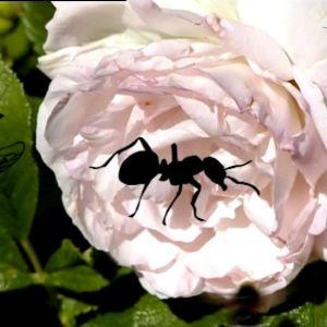 Ruusu jonka päällä kävelee animoituja hyönteisiä