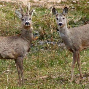 Rådjur finns i nästan hela Finland.