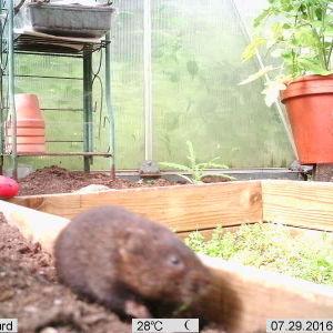 Christian Fredman undrar hur han skall få denna gäst bort från växthuset. Den kommer varje natt och också på dagen på besök och har ätit tomatplantor och gurkplantor. Den gräver sig utifrån under växthusets vägg och sedan in i växthuset. Är det någon skil