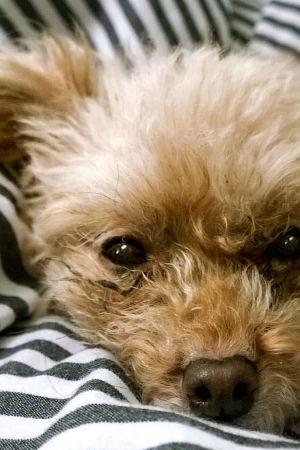 Koira makoilee sängyssä