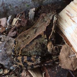 Vad är det för sorts groda som lever i en vedhög i Sundom skärgård undrar Marlene och Hasse Häggkvist. Den är 7-10 cm lång.