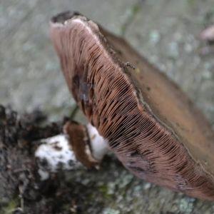 svamp