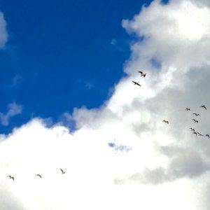 Benita Berglund i Lappfjärd skriver: Nu är de här, i måndags började ropen o pipen i skyn. Bor i Lappfjärd i Syd-Österbotten o idag har säkert mer än tusen flugit över. Hela ängen är svart. Ännu är de så långt borta att man ej kan fånga dem på närbild, fö