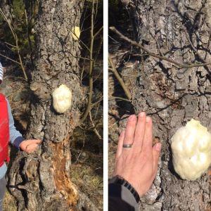 7 åriga Eddie Berger undrar vad detta är för en svamp. Den växte på en al vid stranden på en holme i Ingå yttre skärgård.