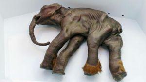 Mammutbabyn Dima hittades i Sibirien 1977