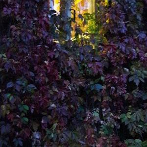 Syksyinen villiviiniköynnös talon seinässä jossa kaksi ikkunaa