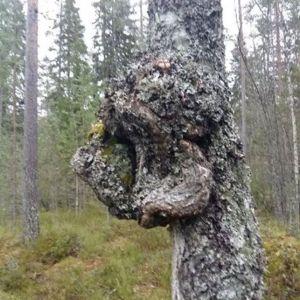 Anja Sundqvist frågar vad denna knöl på den döda björkstammen kallas.