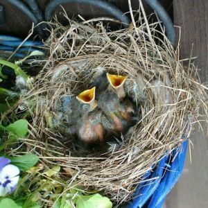 fågelbo med ungar i
