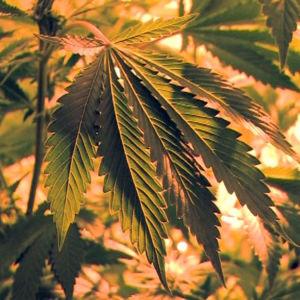 Kannabiskukka, ohjelmasta A-Studio (2011)