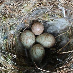 fågelbo med fyra ägg