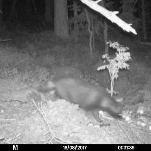 Kaj undrar vem det är som rör sig framför viltkameran.