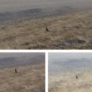 Mona-Lisa Ulfvens har lyckats fånga en obekant fågel på bild i Töjby, Närpes i början av maj. Kan det vara ringtrasten undrar hon?