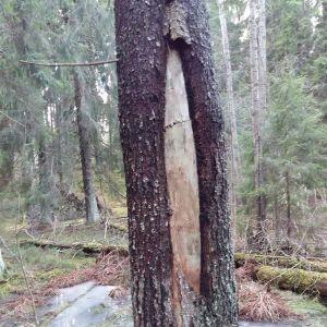 Anja Sundqvist undrar varför trädet klyver sig.