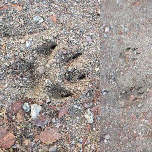 Mattias Bertilssons kompis fotograferade dessa spår i Värmland. Kan det vara varg då baktassarna ser större ut än framtassarna?