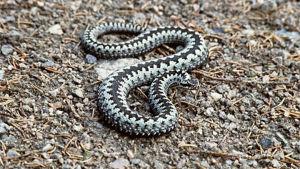 Kyykäärme kiemurtelee maassa.