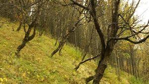 Skog i Island