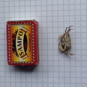 Karl-Erik Heimonen har fått upp dessa mycket små krabbor ( c. 20 mm) med näten. Kan man vänta sig större exemplar i framtiden?