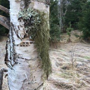 Linda Carlström undrar vad som växer på björken.