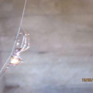 spindel på tråd