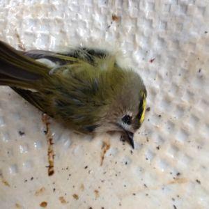 En liten fågel som förolyckats vid en fönsterkrock