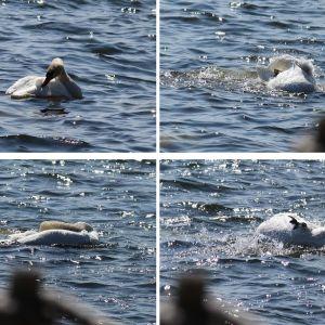 knölsvan som kliar sig och tumlar runt i vattnet