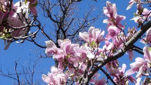 Ett blommande magnoliaträd.