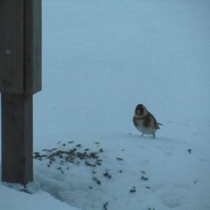 En steglits i snön bredvid ett fågelbord.