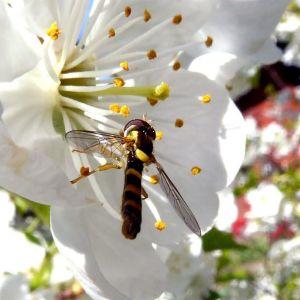 Insekt pollinerar blomma