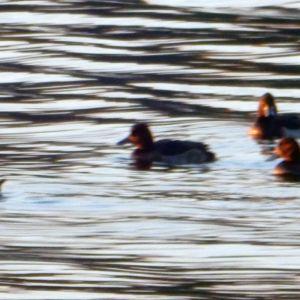 Fem sjöfåglar, men vad är det för art undrar Bengt. Fotade 18 oktober i Esbo.