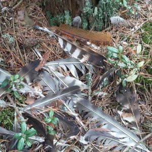 Christer Sundman hittade fjädrar under ett fiskgjusbo som haft två ungar. Två fiskgjusar började tysta segla ovanför boet trots att de normalt brukar bli högljudda. Kan det ha hänt något med ungarna och vem kan vara boven undrar han.
